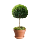 Myrtle Topiary