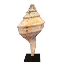 Ancient Syrinx Shell on stand